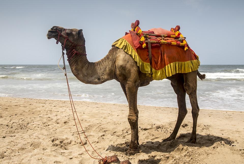 camel-958703_960_720